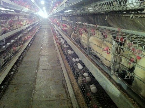 850 تن تخم مرغ در سیستان و بلوچستان تولید شد