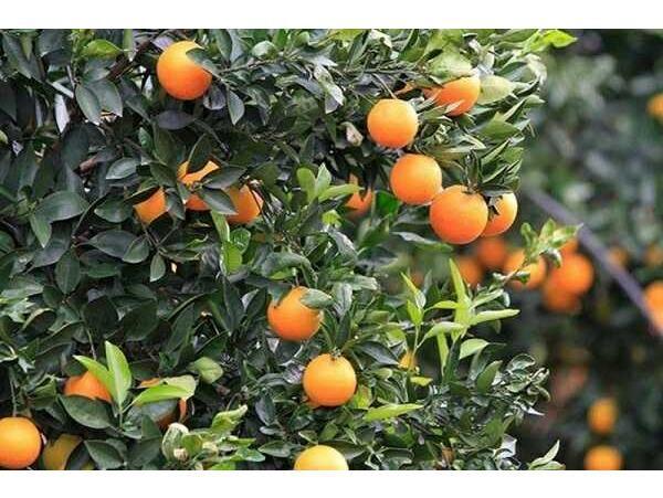 پیشبینی تولید 280 هزار تنی پرتقال در تنکابن
