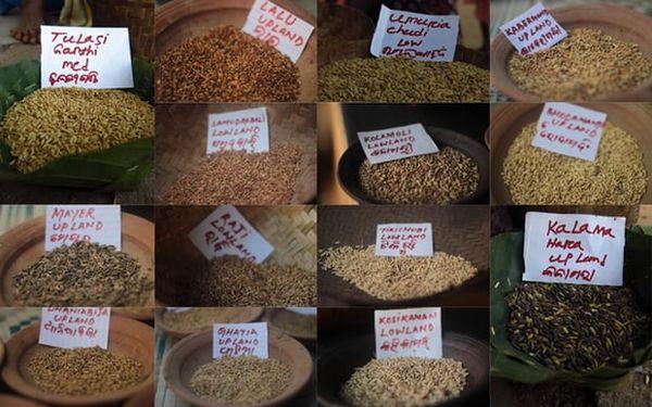 چرا کشاورزان هندی می خواهند برنج بومی و سنتی خود را حفظ کنند؟