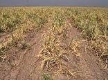 خسارات ناشی از خشکسالی به گندمکاران دیم قزوین حداکثر تا یک ماه آینده پرداخت میشود