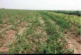 بیش از 48 میلیون ریال کمک بلاعوض به کشاورزان خسارت دیده از سیل فروردین 98 پرداخت شد