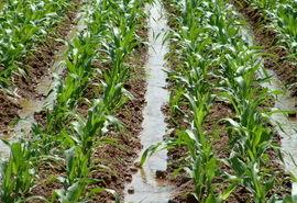 کشت ذرت در اراضی کشاورزی استان قزوین آغاز شد