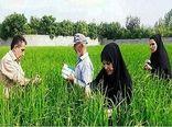 «یاوران تولید» بر تمام مراحل تولید برنج نظارت میکنند