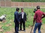 تولید 6800 تن سیر خشک در شهرستان آذرشهر