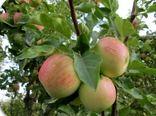 برداشت سیب تابستانه در خراسان شمالی