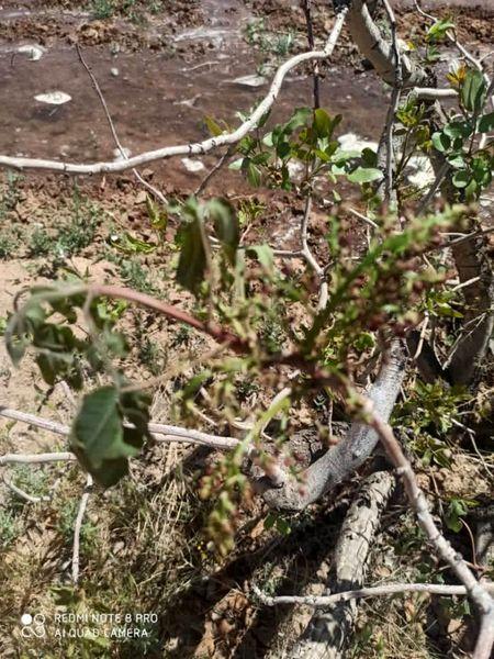 خسارت 17 میلیون ریالی سرمازدگی فروردین ماه به محصولات باغی شهرستان سیرجان
