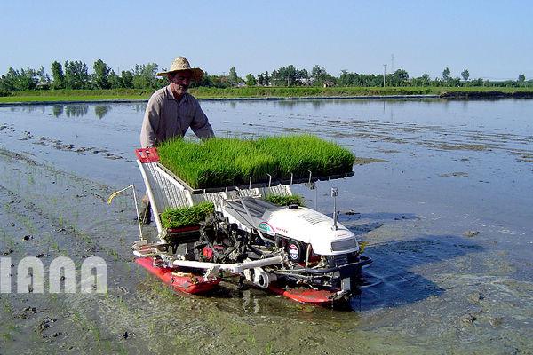 فقط گیلان و مازندران برنج می کارند