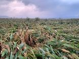 خسارت 36 میلیارد ریالی به کشاورزی فیروزآباد