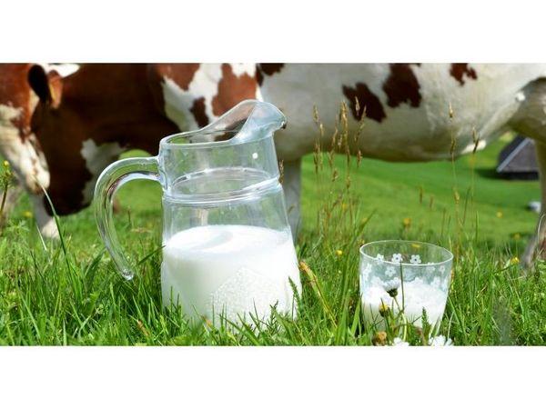 تولید سالانه 84 تن شیر خام در چالوس/ فعالیت 1700 دامدار