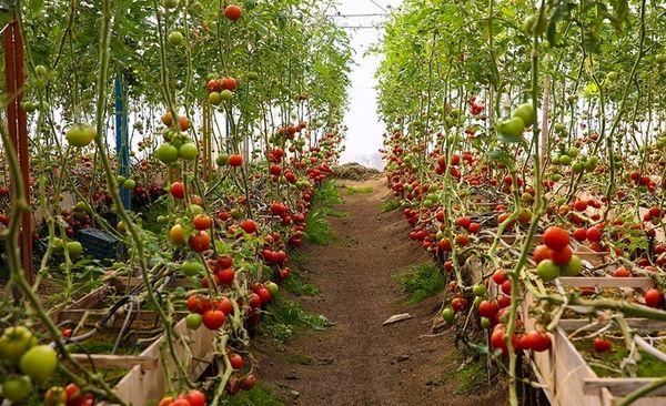 اجرای مبارزه بیولوژیک در گلخانه های شهرستان ارزوئیه