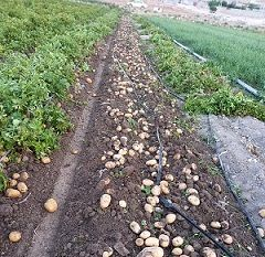 سیب زمینی مرودشت راهی بازار شد