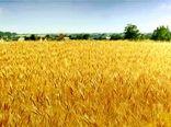 برداشت از 1600 هکتار مزارع گندم و جو در شهرستان بم آغاز شد