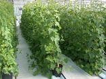 افزایش سطح زیر کشت محصولات گلخانهای در ابرکوه