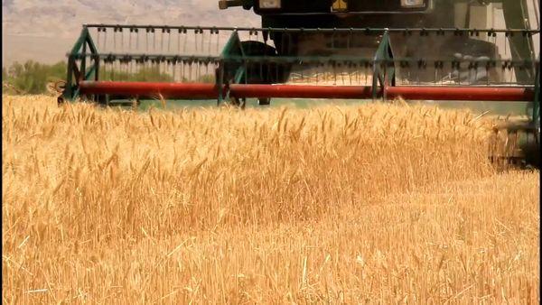 آغاز خرید تضمینی گندم از کشاورزان کاشان و اردستان