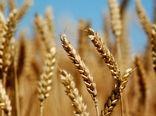 افزایش 11 درصدی کشت گندم آبی در خراسان جنوبی