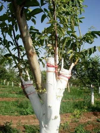 عملیات سرشاخه کاری گردو در باغات شهرستان بن آغاز شد