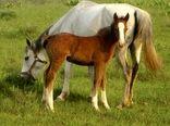 هویت گذاری اسب صرفا توسط وزارت جهاد کشاورزی انجام می شود