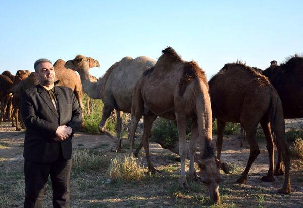 زمینه برای پرورش شتر دوکوهانه در آذربایجان شرقی  مهیاست