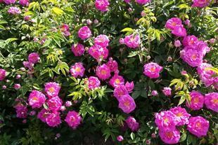 برداشت 200 تن گل محمدی از گلستانهای شهرستان آران و بیدگل
