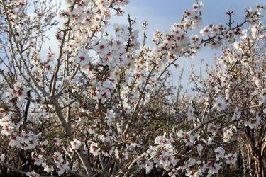 شکوفههای بهاری سامان