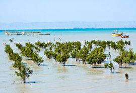 درختان حرا دوای دردِ آلودگی های خلیج فارس
