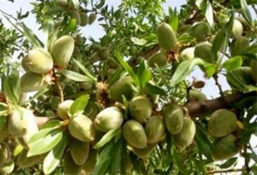 برداشت محصولات پسته، سیب، بادام دیر گل و به در بردسیر آغاز شد