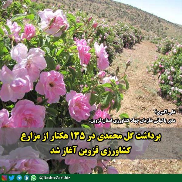 برداشت گل محمدی در ۱۳۵ هکتار از مزارع کشاورزی قزوین آغاز شد