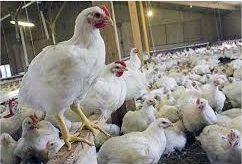 فعالیت 34 واحد پرورش مرغ گوشتی در کازرون