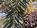 خرید توافقی خرمای استعمران خوزستان توسط سازمان مرکزی تعاون روستایی ایران