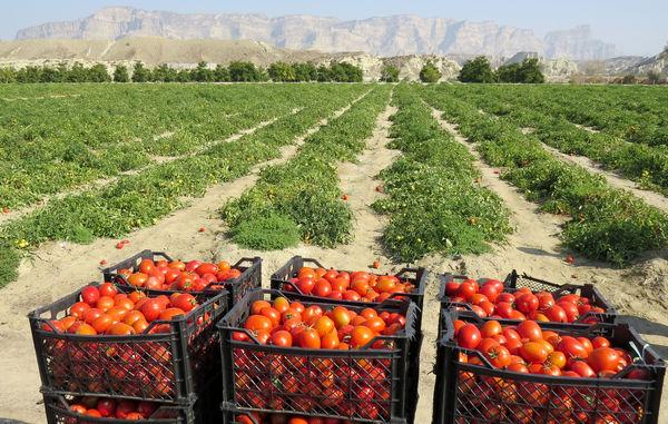 برداشت 57 هزارتن گوجه فرنگی درسیستان وبلوچستان