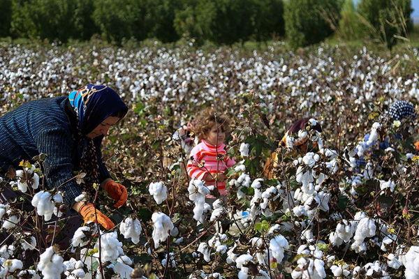 120هزار تن وش پنبه از مزارع کشور برداشت شد