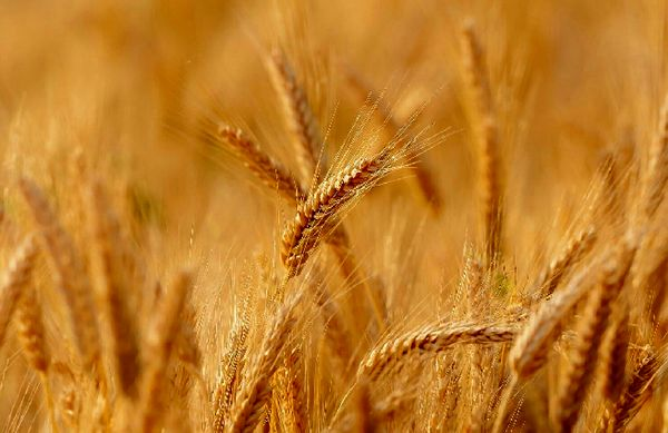 پرداخت 15 میلیارد ریال غرامت برای مزارع گندم دیم بیمه شده شهرستان هشترود