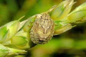 مبارزه با آفت سن گندم در شهرستان بردسیر در حال انجام است