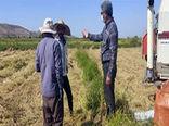 برداشت 2500 تن برنج از اراضی شهرستان خداآفرین