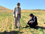 کشت 83 هکتار کلزا در شهرستان هشترود
