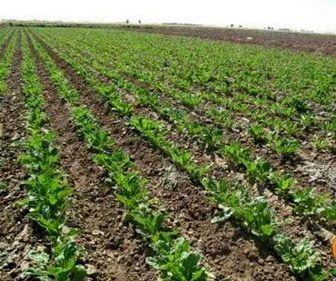 پیش بینی افزایش 2.5 برابری کشت چغندر قند پاییزه در کازرون