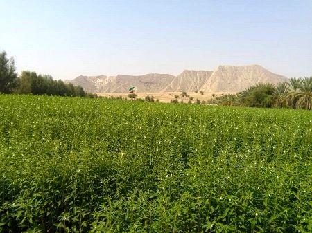 کاشت مکانیزه کنجد در شهرستان خنج