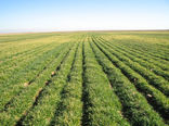 48 هزار هکتار از مزارع کشاورزی شهرستان به زیر کشت گندم رفت