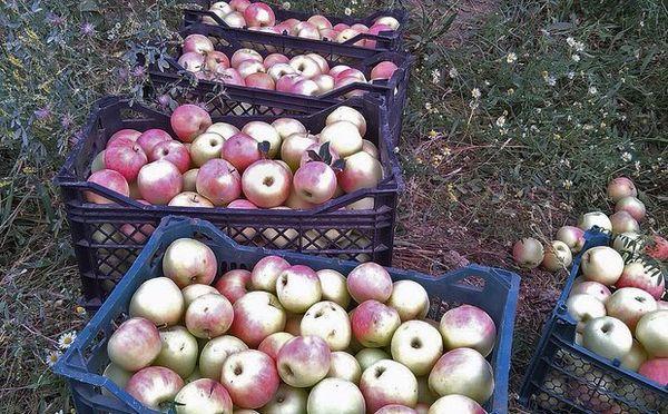 نگرانی باغداران دهاقانی از کاهش نرخ فروش سیب گلاب