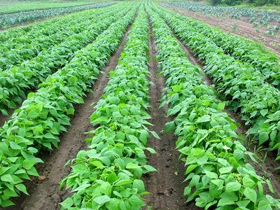 35 تن حبوبات در مزارع کشاورزی شهرستان البرز تولید می شود