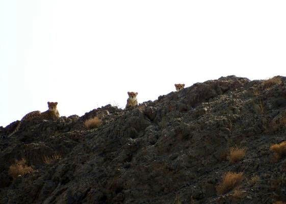 مشاهده 3 یوزپلنگ در پارک ملی توران