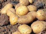 تولید بیش از 82 تن سیب زمینی در هکتار