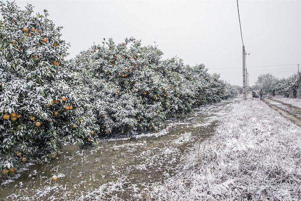 تحمیل خسارتهای سنگین بر اثر بارش برف به کشاورزی البرز