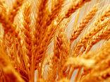 افزایش خرید تضمینی گندم در خراسان شمالی