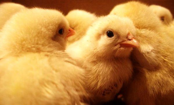 افزایش 15 درصدی جوجه ریزی در مرغداریهای چهارمحال و بختیاری
