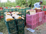 صادرات کشاورزی زنجان به 10 کشور