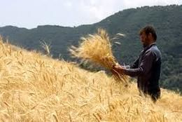 برداشت خوشههای طلایی گندم در آرادان آغاز شد
