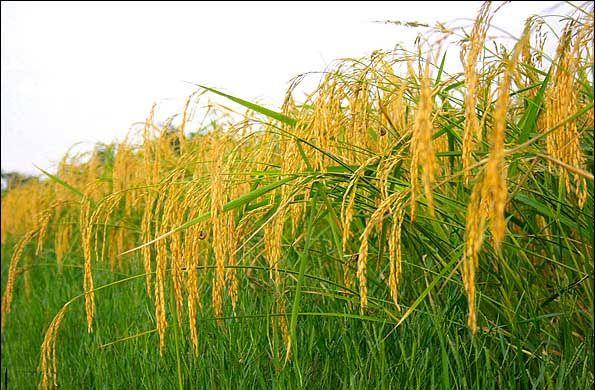 اجرای طرح مصرف ریزمغذی در 100 هزار هکتار مزارع برنج مازندران/ افزایش 7 درصدی تولید