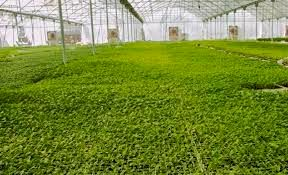 بیش از 118هزار متر مربع گلخانه در شهرستان دشتی به بهرهبرداری رسید