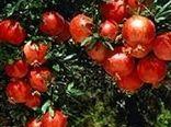 تولید سالانه ۱۷ هزار تن انار در باغات شهرستان باغملک